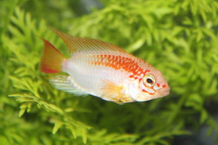 images/Slideshow/apistogramma_viejitagoldred2.jpg